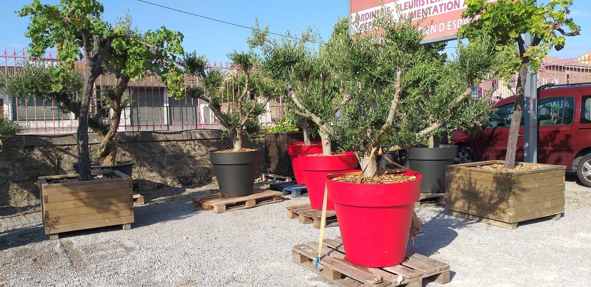 pot-pour-oliviers-pepiniere-arcadie-lezignan-corbieres